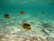 Pesci Farfalla - Mar Rosso