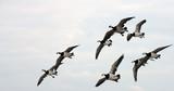 migration des oies poster