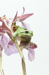 Raganella su orchidea