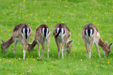 Fallow deer in 4 youngsters feeding in grassland poster
