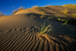 Desert grasses on a textured sad dune