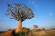 Quiver tree (Aloe dichotoma) landscape, Namibia