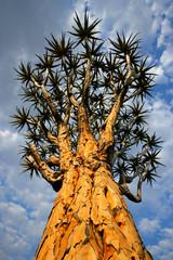 Quiver tree (Aloe dichotoma), Namibia, southern Africa