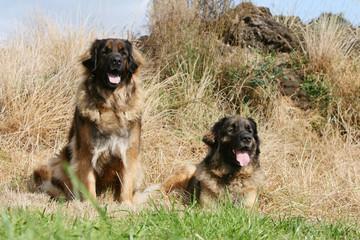deux leonberg se reposent dans l'herbe en tirant la langue