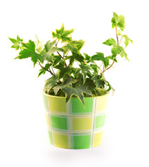 Pot with a flower