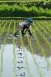 春の田植え