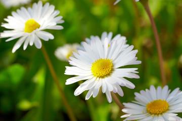Gänseblümchen closeup