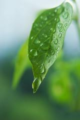 Waterdrops of the fresh green leaf