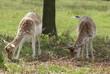 fallow deer. Balance in shape