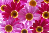 red and pink marguerites