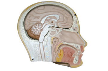 inside the human head