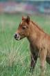 little chestnut baby foal