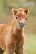 pony baby foal
