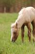 little palomino baby foal