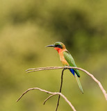 Red-throated Bee-eater by causeway poster