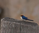 Wire-tailed Swallow in The Gambia poster