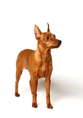 Red Miniature Pinscher on white