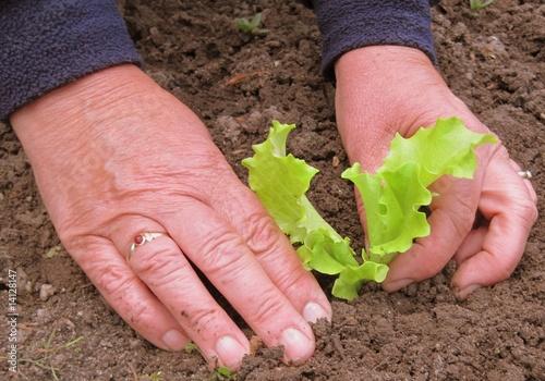 salat pflanzen von silentfieldmedia lizenzfreies foto. Black Bedroom Furniture Sets. Home Design Ideas