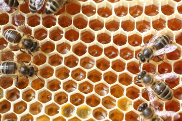 abeilles sur cadre de miel