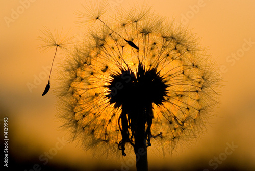 dandelion in peaceful evening