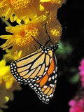 Butterfly (Monarch, Danaus plexippus)