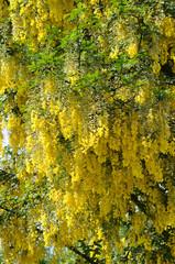 Gelbe Acacia