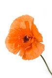 oriental poppy isolated