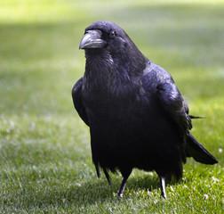 Raven in Th eTower