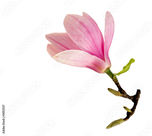 Tuinposter Magnolia Single Magnolia