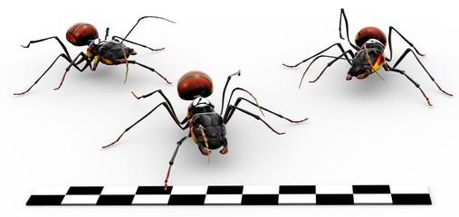 Fire Ants Crossing Finish Line