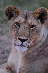 Lioness (Panthera leo), Masai Mara, Kenya