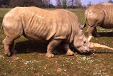 White Rhinoceros in Wildlife Park. England poster