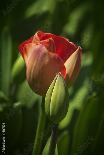 czerwony-tulipan-patrz-rowniez