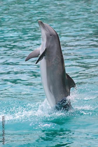 Foto op Aluminium Dolfijn Grand dauphin se dressant hors de l'eau avec sa caudale