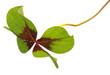 un trèfle à quatre feuilles