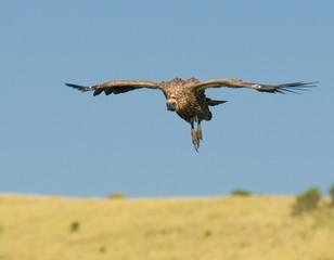 flying vulture, masai mara, kenya