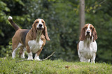 two basset hounds poster