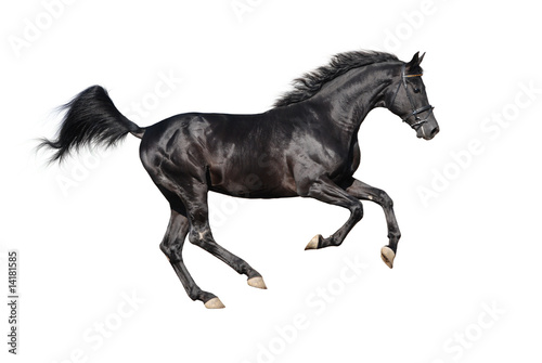 galloping black stallion isolated on white