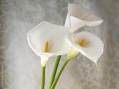 fresh white calla lilies