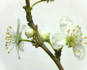 Blooming branch
