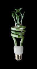 Lucky Bamboo CFL
