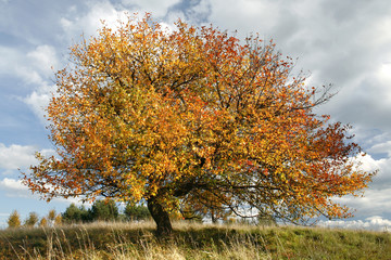 autumn apple-tree