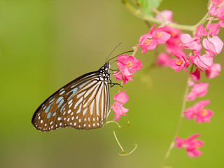 Blue Glassy Tiger Butterfly Feedin on Pink Flowers of a Creeper