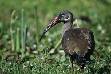 Hadada Ibis, Bostrychia hagedas, Naivasha Lake, Kenya, Africa