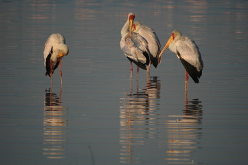 Yellow-billed Stork, Mycteria ibis, Kenya, Nakuru Lake