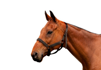 Isolate head of a cobbed horse with partial harness