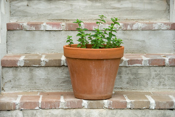herbs in a terra cotta pot on the steps
