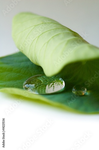 Two raindrops on a curling lotus leaf