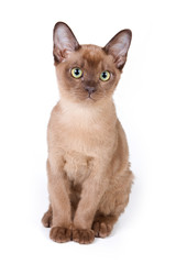 Burmese kitten on white background