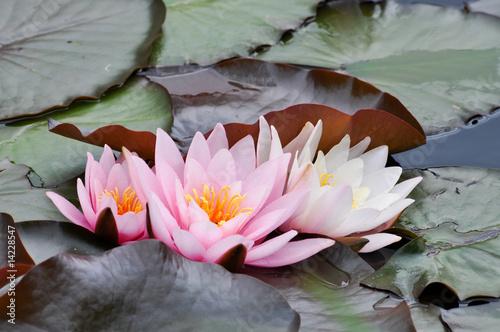 Fotobehang Lotusbloem Wasserpflanzen am Teich